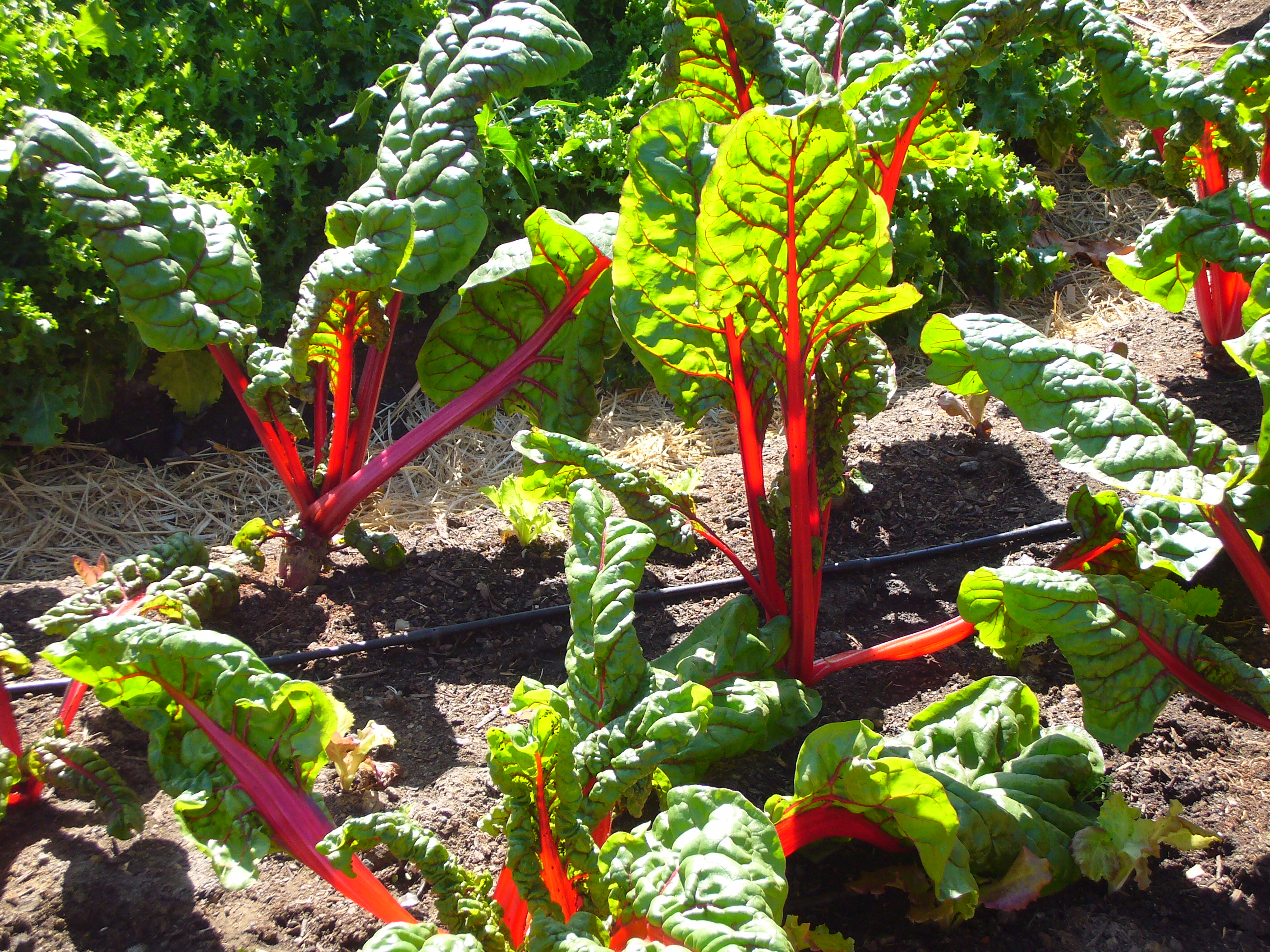 Chard_in_the_Victory_Garden