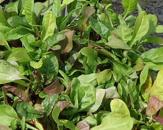 Swiss_chard_in_New_Jersey_in_April